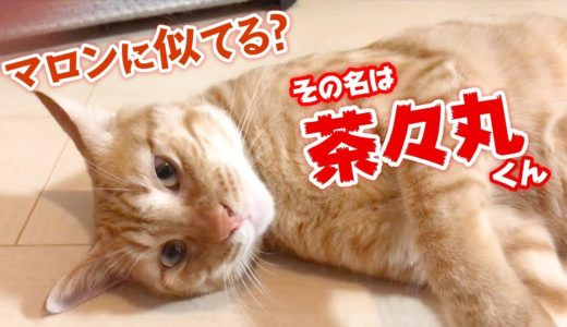 ぴかおさんの茶トラ猫 茶々丸くんがマロンに似ていて親近感!先住白猫ユキちゃんとの相性が…