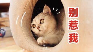 【李喜貓】新来的猫太嚣张,刚进门就欺负12只原住民,边吃罐罐还边骂骂咧咧