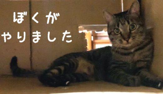 自ら改装した裏口を上手に使いこなす猫 Dog and cat playing tag using the cardboard box