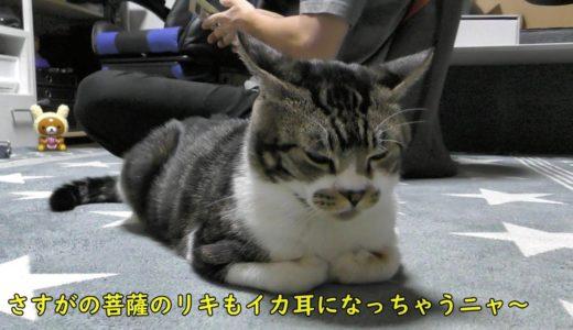 パパが構ってくれるまで健気に待つ猫が可愛すぎるw甘えん坊リキちゃん【リキちゃんねる 猫動画】Cat video キジトラ猫との暮らし