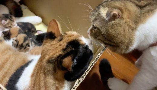 【猫】嫁と子猫に会いに行ったぽこ太郎【スコティッシュフォールド】