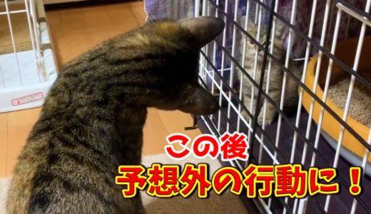 保護子猫と先住猫の初ご対面!柴犬の気遣いに飼い主感動 Sister cat and kitten meet for the first time