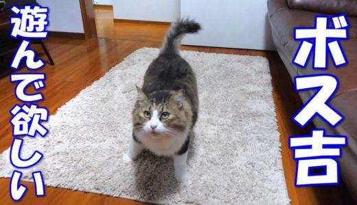 遊んで欲しくておかしなテンションになっているボス猫