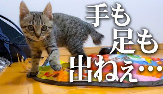 動体視力がよわよわ過ぎて獲物が捕まえられない子猫が可愛すぎるwww