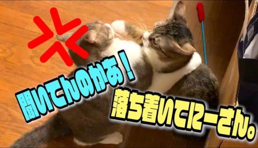 ついに弟猫にタックルをかましてしまうお兄ちゃん猫スカー
