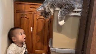 赤ちゃんから感情をぶつけられる猫 ノルウェージャンフォレストキャット Cats hit by emotions from babies