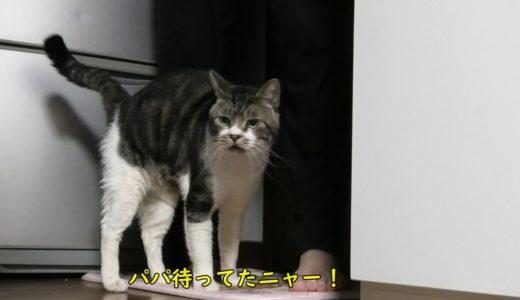 パパがやってくるのをずっと待つ猫リキちゃん☆うれしくていっぱいおしゃべり♪【リキちゃんねる】Cat video キジトラねことの暮らし