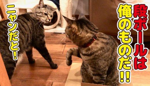 自分より小さな段ボールがあると挑戦したくなる猫!