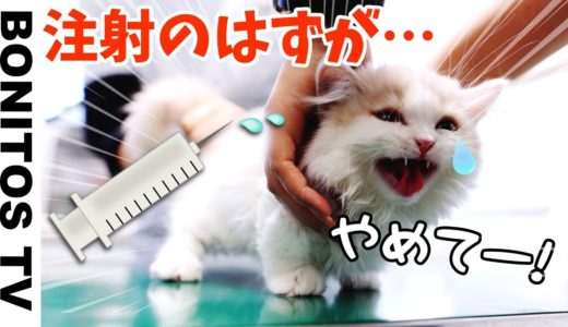猫ちゃん…注射のはずがまさかの…【ねこ&いぬ】かのん&りんたん ♥ -Bonitos TV- ♥