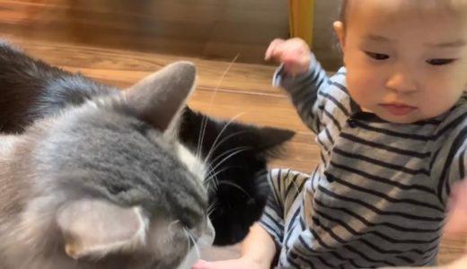 赤ちゃんが眠るまで遊び相手になる猫 ノルウェージャンフォレストキャット A cat to play with until the baby sleeps