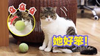 【李喜貓】萨摩耶找12只猫玩球,刚开始猫不领情装傲娇,最后疯到停不下来