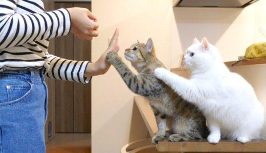 おやつが欲しくてハイタッチを繰り出す猫たち!