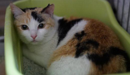 【閲覧注意】オス三毛猫、てんかんの発作を起こす The male calico cat had an epileptic seizure