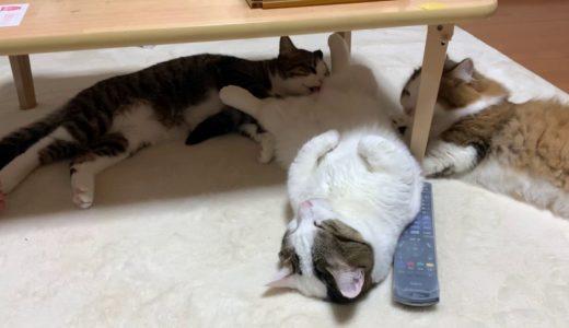 和菓子を舐める猫 【今日のひのき猫】