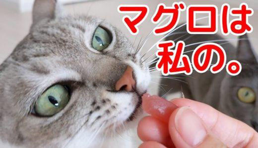 大好きなマグロの刺身を独り占めしたい猫