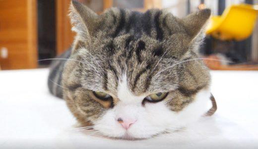 箱に入り損ねても意地でも寛ぐねこ。-Maru failed to enter the box, but he relaxed anyway.-