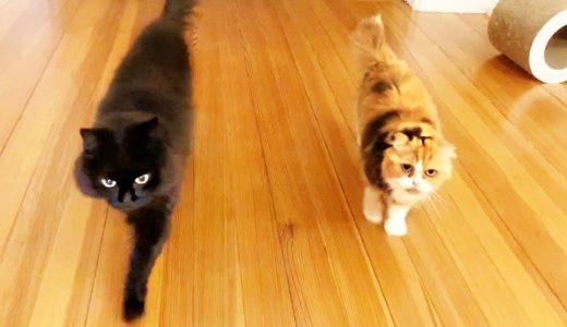 【しゃべる猫】帰宅した飼い主を追いかけて競争する猫たち【かわいい】