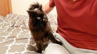 【しゃべる猫】やたらキスをせがむ猫といちゃついていたら別の猫が注意しにきた【かわいい】