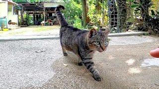 ナデナデするとその場で足踏みするキジトラ猫が可愛過ぎる