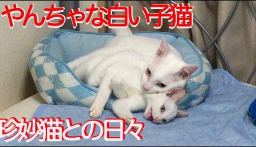 甘えん坊の白い保護子猫、珍妙猫たちと共に成長する two white funny kitty