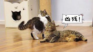 【李喜貓】主人很忙的时候猫咪们都在干嘛?看了这个视频保证你不想养猫!
