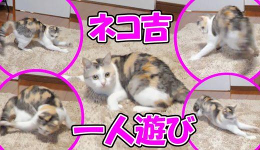 予測不能な動きをする三毛猫ネコ吉の一人遊び