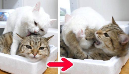 先輩猫のしつこい毛繕いに我慢の限界を迎えた結果…!