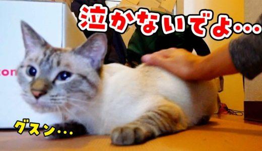 【猫と飼い主の別れ】帰省する飼い主に置いてかれる猫… 離れるのが嫌で鳴きまくってしまいました…