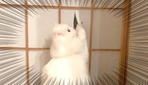 障子を破った猫が知らん顔する表情が可愛い!笑