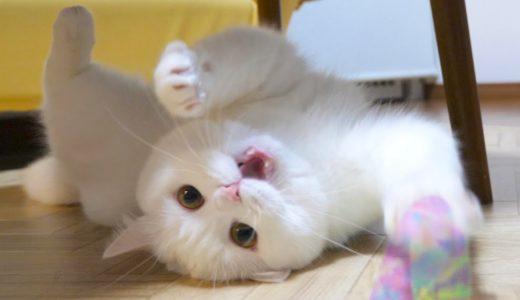 体を拭かれた怒りを全力でぶつけてくるもふ猫!