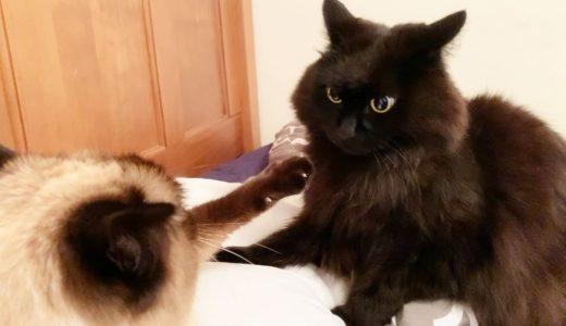 枕を取られてカチンときた猫が乱闘始めようとした結果…!【しゃべる猫】
