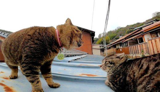 屋根の上でケンカする猫