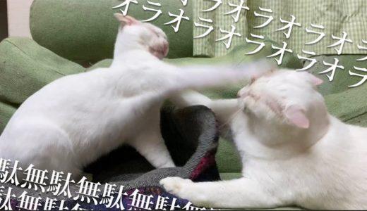 【猫】オラオラオラオラァッ!無駄無駄無駄無駄ァッ!  The funny punch rush of two white cats'