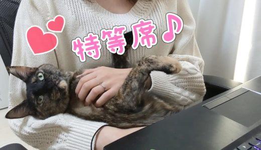ママが大好きすぎて離れないサビ猫モモちゃん【日常】