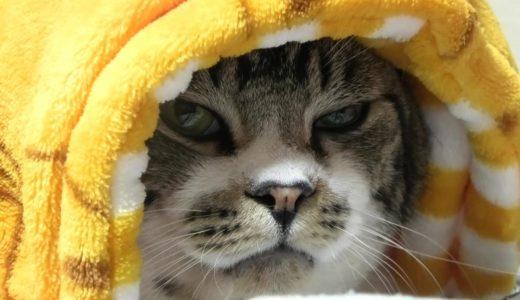 ミノムシになる猫☆パパのおなかの上でヌクヌクのりきちゃん☆いつでも傍に居るねこ【リキちゃんねる・猫動画】Cat video キジトラ白猫の居る暮らし