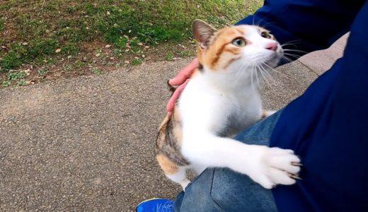三毛猫の散歩に付いていってみたら途中から強烈に甘えてくる様になった