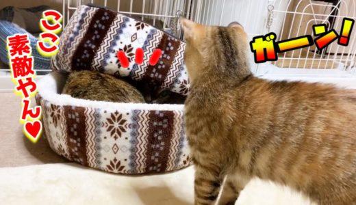 キープした寝床をお姉ちゃん猫に取られちゃった子猫が可愛い Kitten who was going to use the bed later
