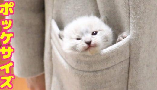 ポッケに入れて持ち運びできる赤ちゃん猫が可愛い