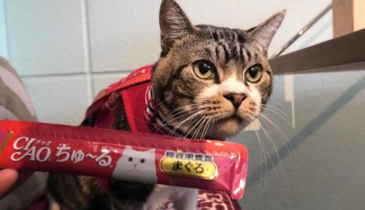 喫茶店ではちゅ~るをいただきますのねこリキちゃん☆大好物でも後ろ向いてたらさすがに気づかないw【リキちゃんねる・猫動画】Cat video きじしろねこのいる暮らし
