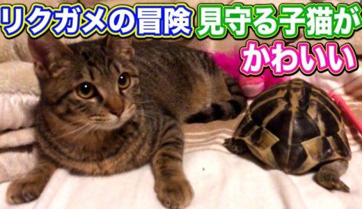 元野良猫 子猫 家猫化 リクガメ 【リクガメの冒険を見守る子猫の姿が可愛い!】 Kitten Cat Japanese traditional house
