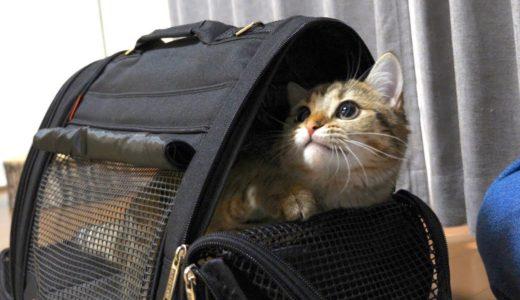 キャリーバッグに進んで入っちゃう警戒心のない子猫!