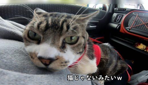 ゴープロで猫を撮影したら猫ではない何かになったw☆リキちゃんとドライブ・ねことおでかけ【リキちゃんねる・猫動画】Cat video きじしろねこのいる暮らし