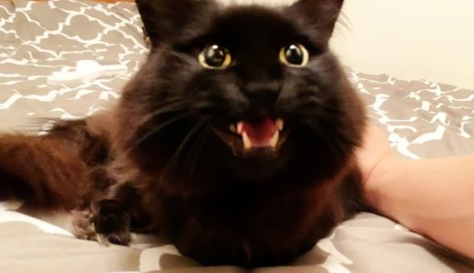 【しゃべる猫】ニコニコしながら何度も返事をする猫【しおちゃん】