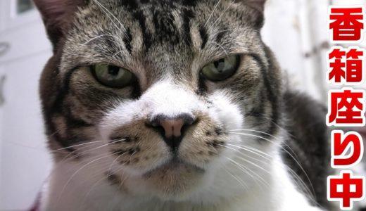 気づいたら真後ろで香箱座りしてる猫リキちゃん【リキちゃんねる・猫動画】Cat video きじしろねこのいる暮らし