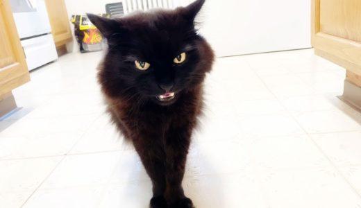 【しゃべる猫】お腹が空いて我慢できず「晩ごはん」と言う猫【しおちゃん】