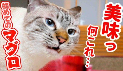 猫に初めてマグロの中落ちをあげてみた結果…