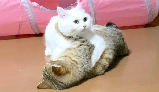発情のむず痒さを先輩のモフ猫にぶつける子猫!