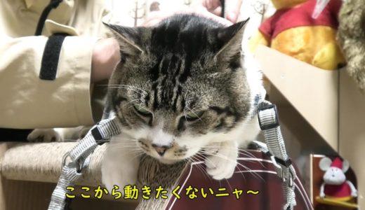 ハーネスに抵抗する気力も無くなってしまうねこ☆無気力不機嫌顔リキちゃん【リキちゃんねる・猫動画】Cat video きじしろねこのいる暮らし