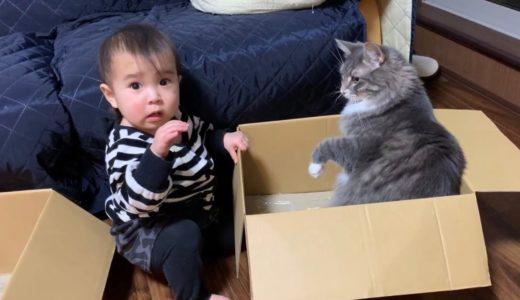 娘との領地争いからケンカに発展する猫 ノルウェージャン Cat develops into a fight from territorial dispute with owner's daughter