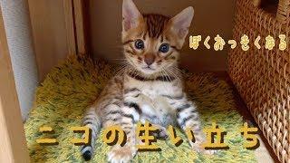 【祝1歳】ベンガル猫ニコの産まれたて〜1歳までの生い立ち